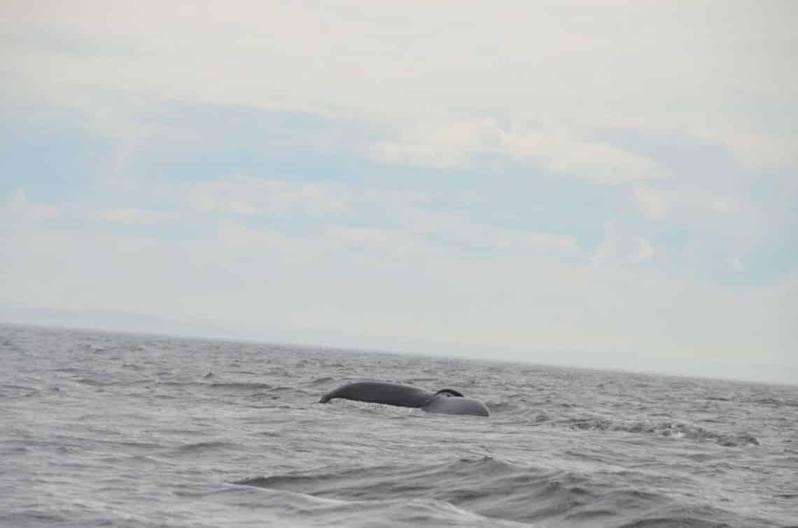 Dos de baleine à Tadoussac