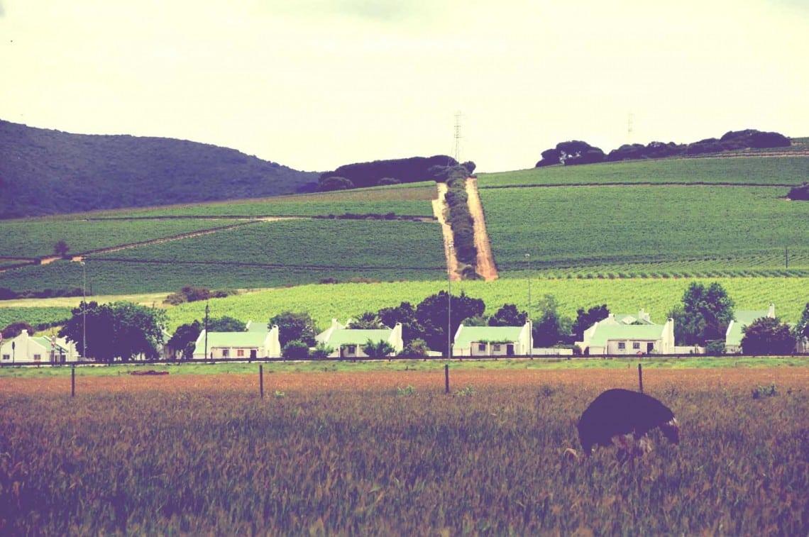 Autruche dans les vignes, Stellenbosch