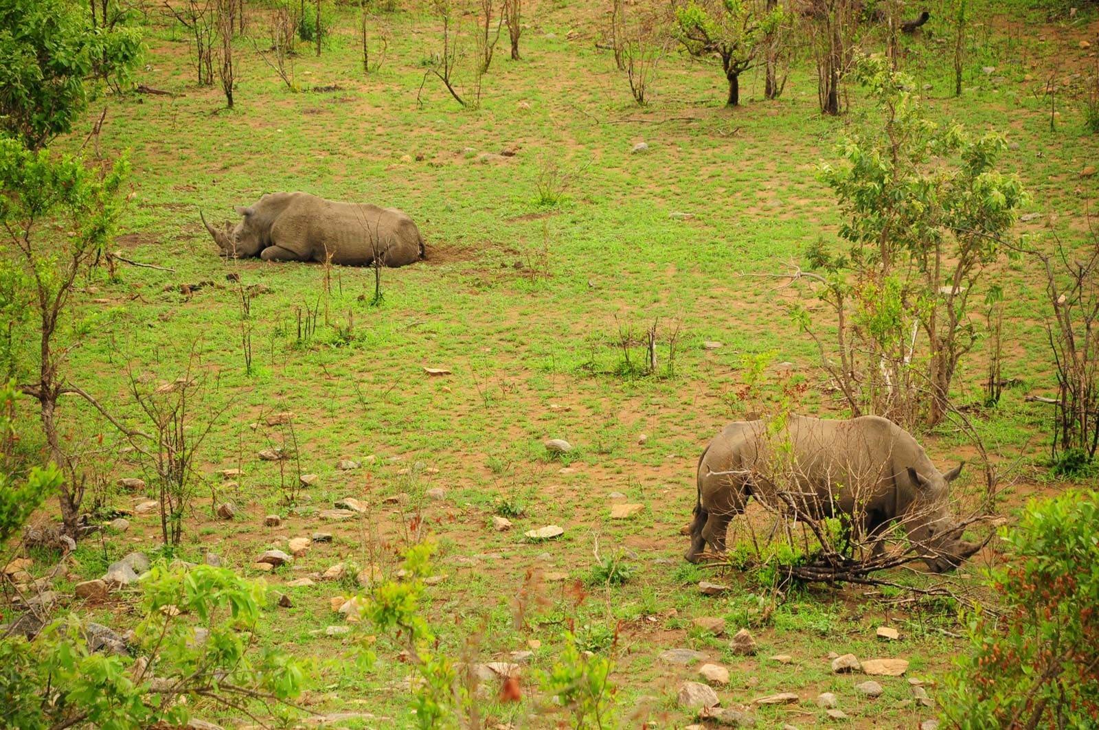 Rhinos dans la boue au Kruger Park Afrique du Sud