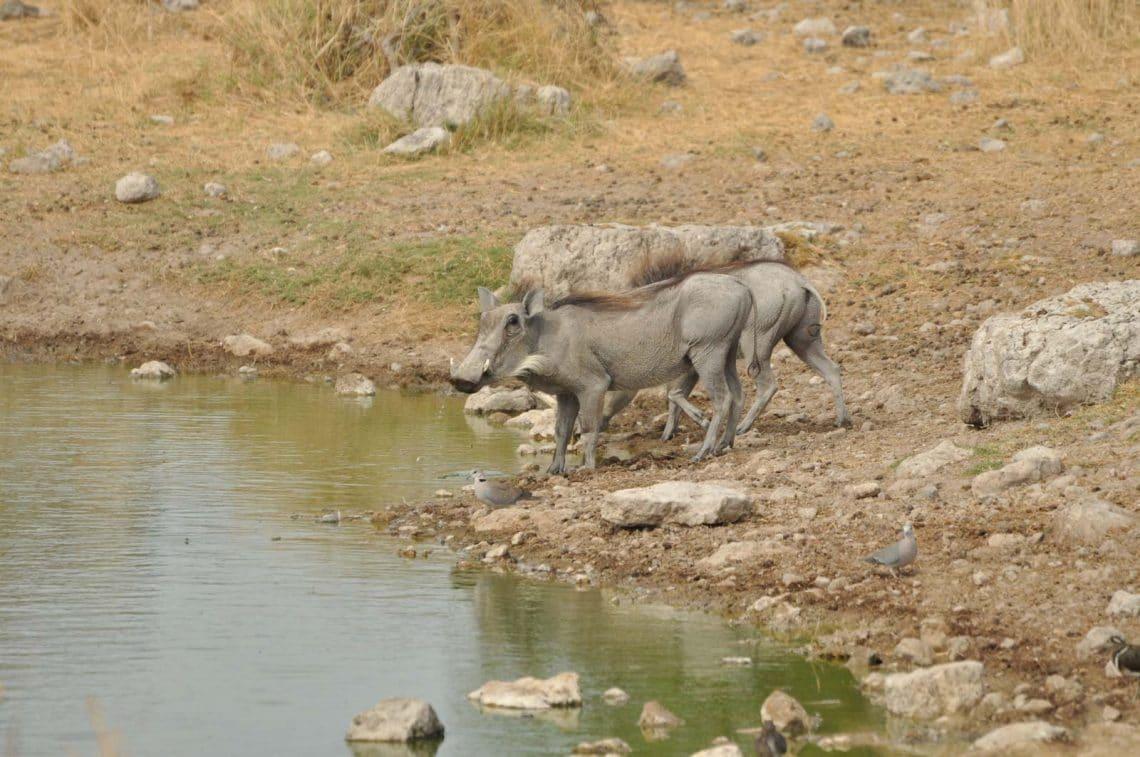 Phacochères au point d'eau Etosha Namibie