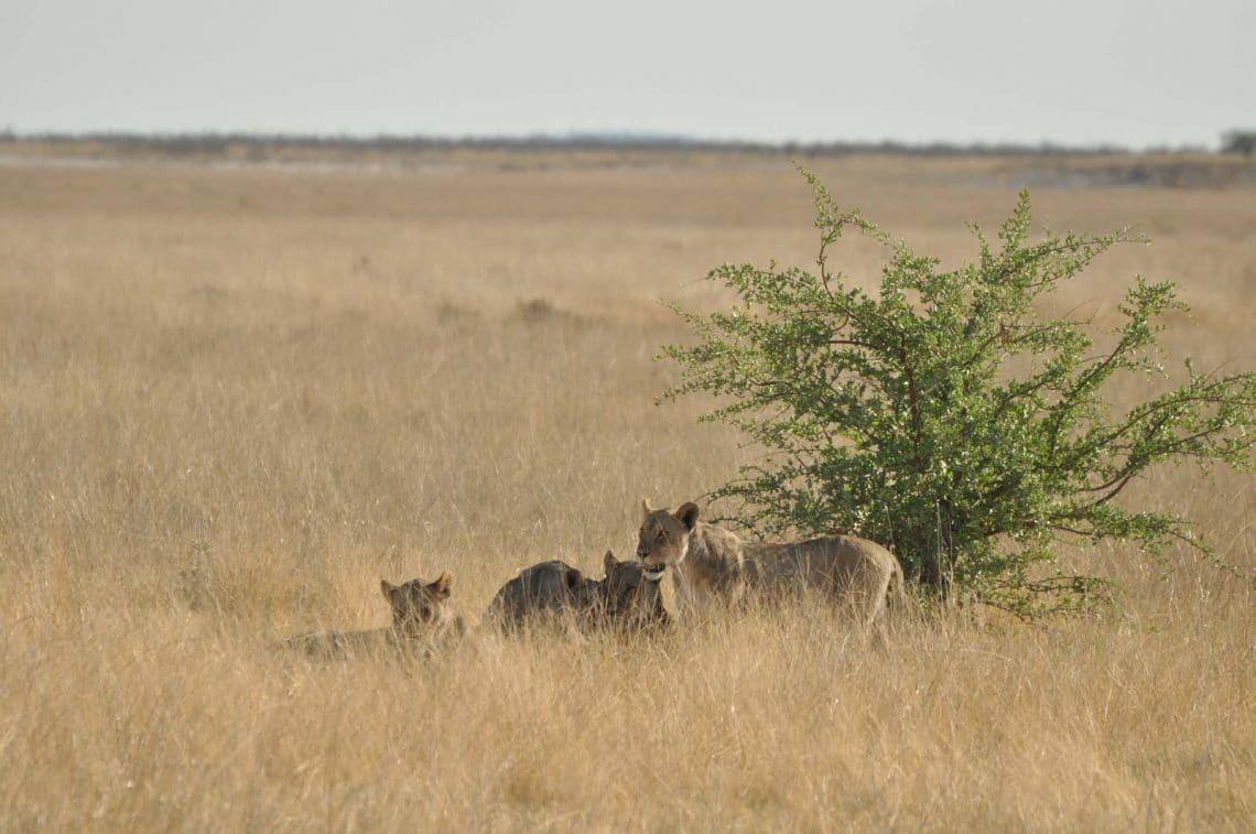 Lions à Etosha Namibie