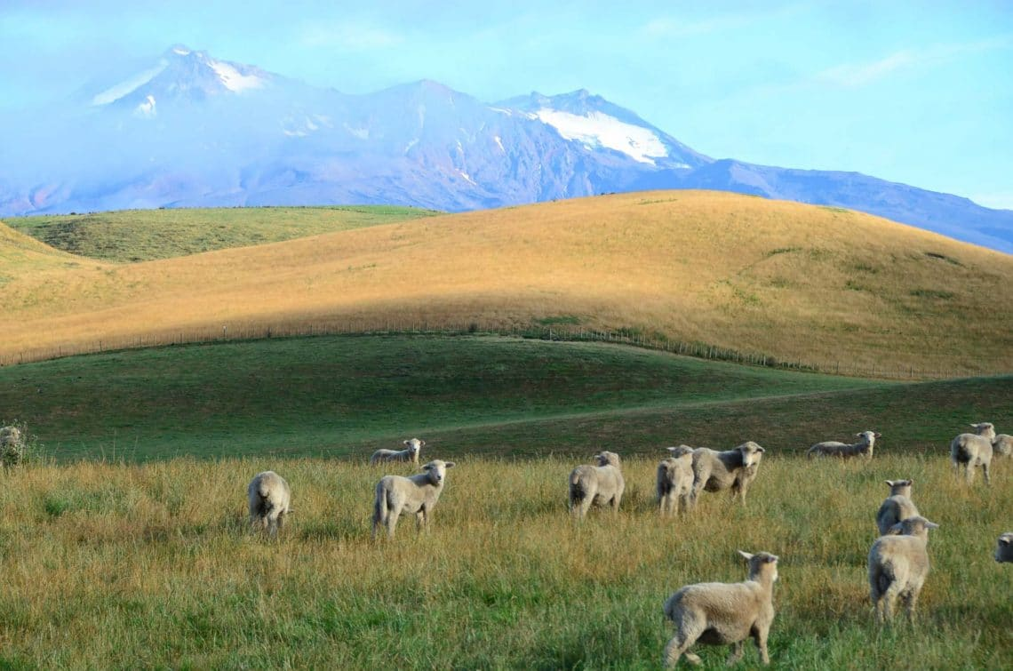Moutons à Tongariro Nouvelle Zélande
